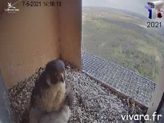 Webcam en direct de l'intérieur du nid de Faucon-Pelerin cam 1 - via france-webcams.com