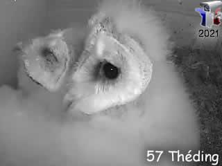 Webcam Chouette Effraie de Théding intérieur du nid - via france-webcams.com