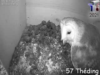 Le nid de chouette effraie en direct - intérieur - via france-webcams.com