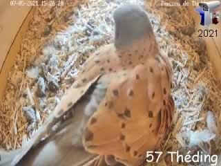 Le nid de faucon crécerelle en direct - intérieur - via france-webcams.com